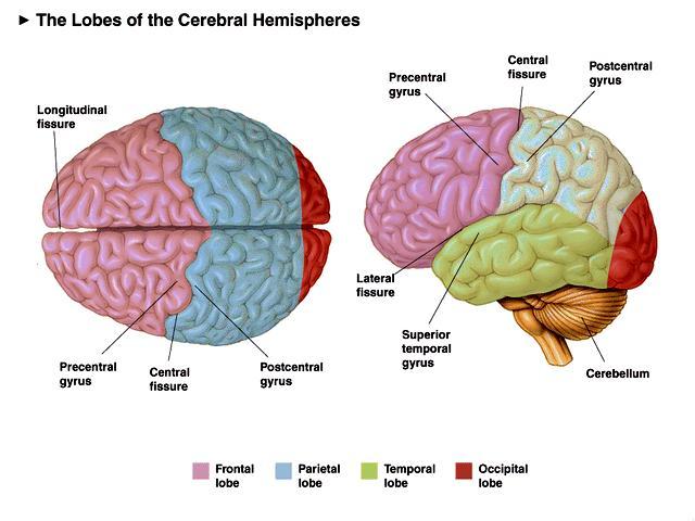 The Cerebrum - Lobes - Vasculature - TeachMeAnatomy |Cerebral Cortex Structure